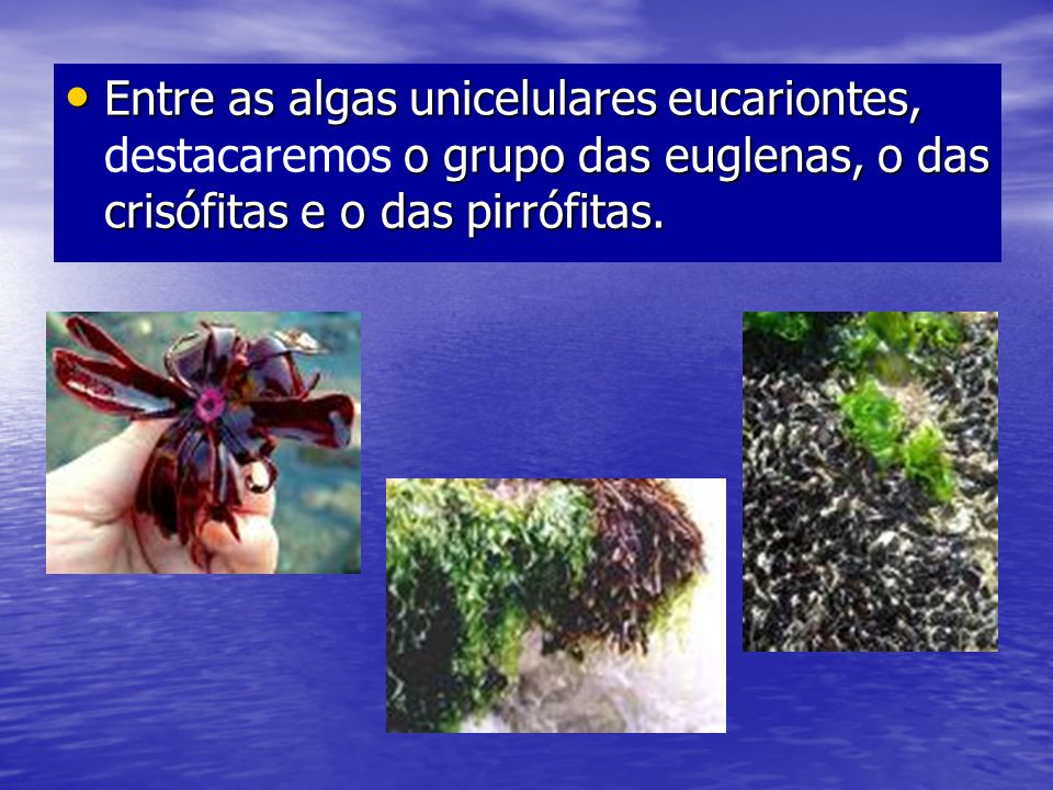 Entre as algas unicelulares eucariontes, destacaremos o grupo das euglenas, o das crisófitas e o das pirrófitas.