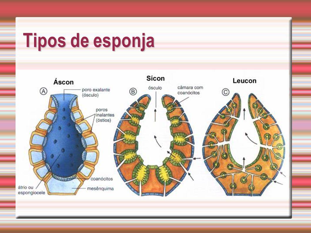 Tipos de esponja