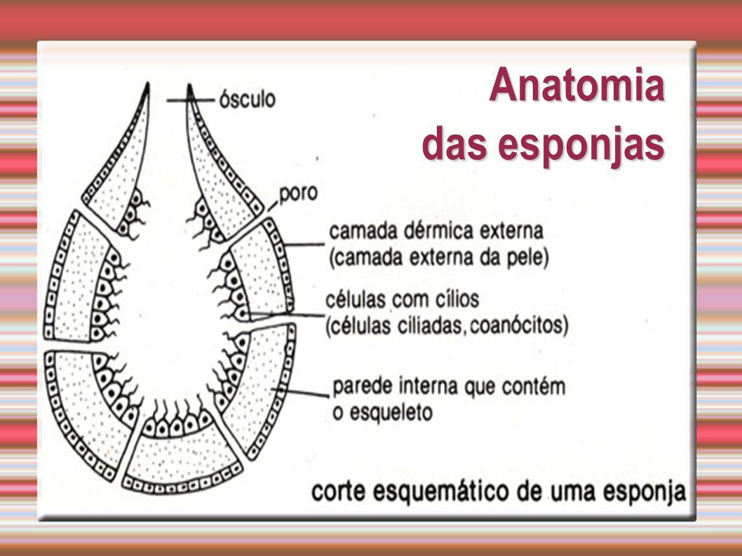 Anatomia das esponjas