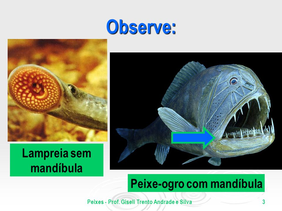 Lampreia sem mandíbula Peixes - Prof. Giseli Trento Andrade e Silva