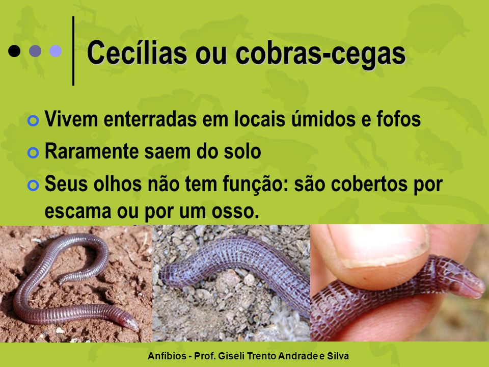 Cecílias ou cobras-cegas