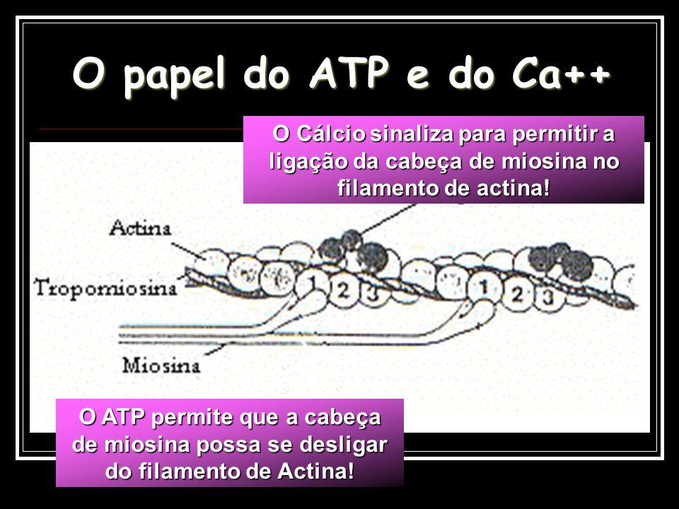 O papel do ATP e do Ca++ O Cálcio sinaliza para permitir a ligação da cabeça de miosina no filamento de actina!