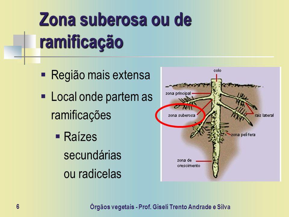 Zona suberosa ou de ramificação