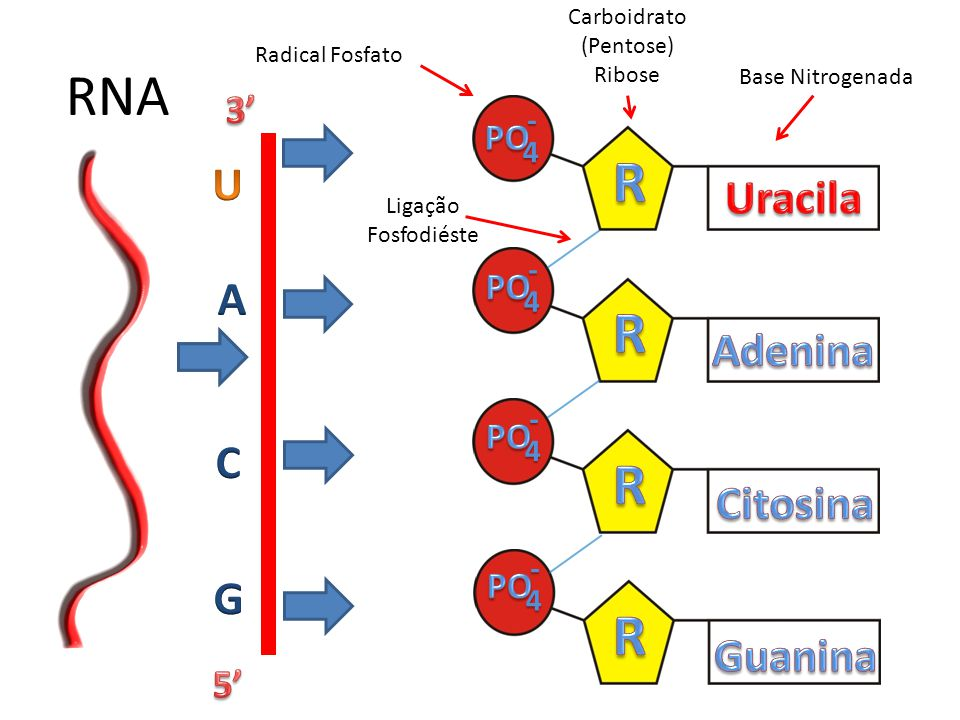 RNA R R R R U A C G Uracila Adenina Citosina Guanina 3' 5' PO PO PO PO