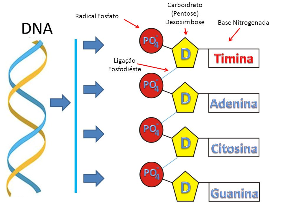 DNA D D D D Timina Adenina Citosina Guanina PO PO PO PO - 4 - 4 - 4 -