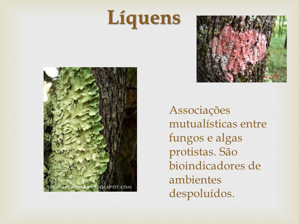 Líquens Associações mutualísticas entre fungos e algas protistas.