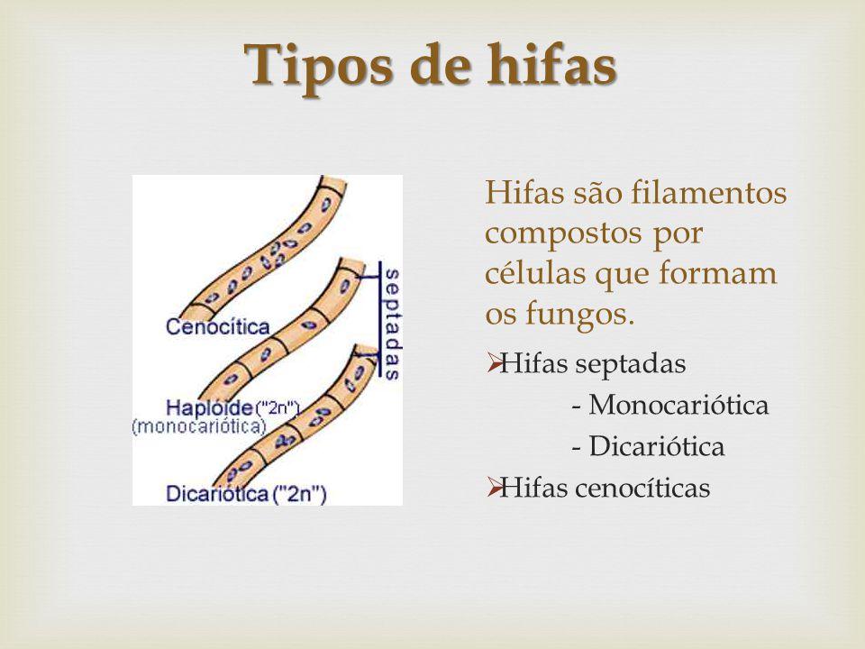 Hifas são filamentos compostos por células que formam os fungos.