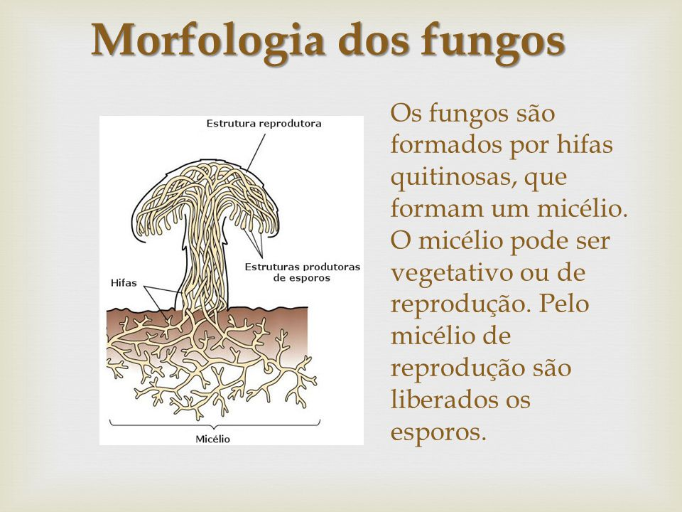 Morfologia dos fungos