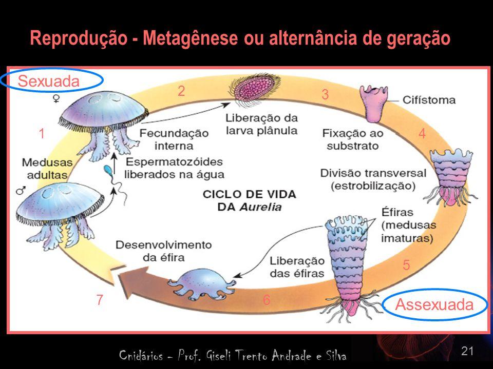 Reprodução - Metagênese ou alternância de geração