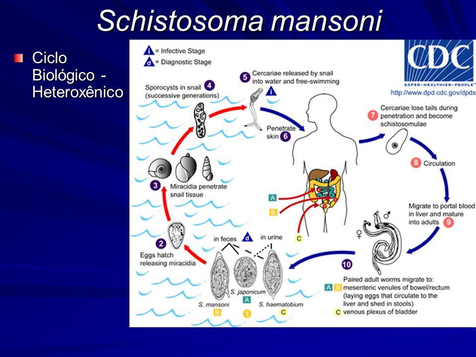Schistosoma mansoni Ciclo Biológico - Heteroxênico