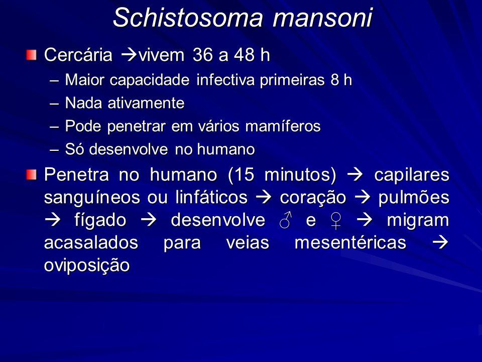 Schistosoma mansoni Cercária vivem 36 a 48 h