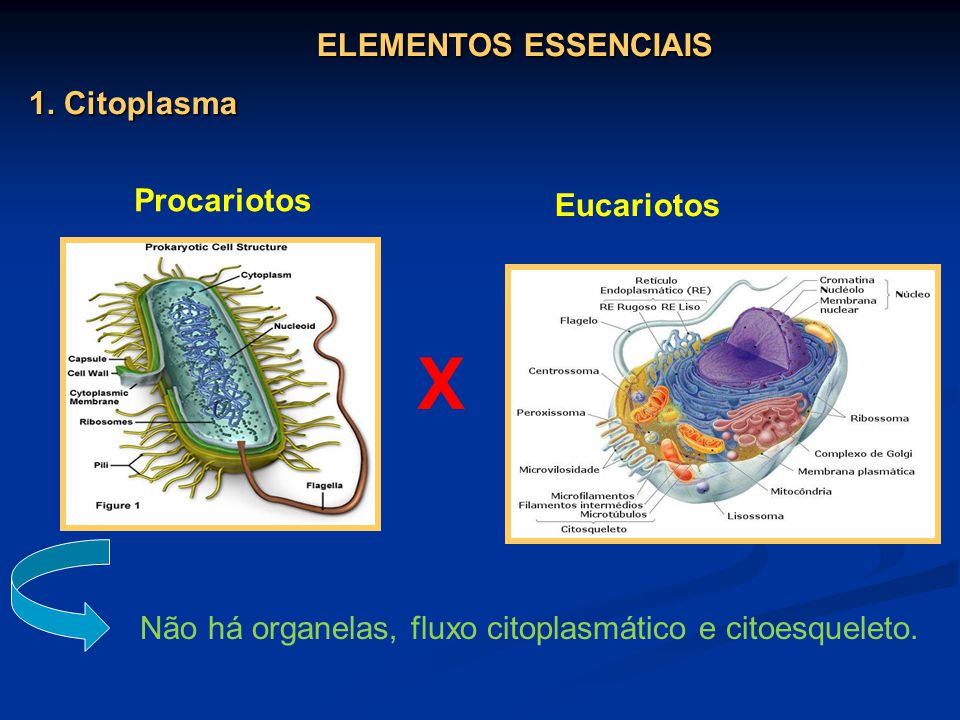 X ELEMENTOS ESSENCIAIS 1. Citoplasma Procariotos Eucariotos