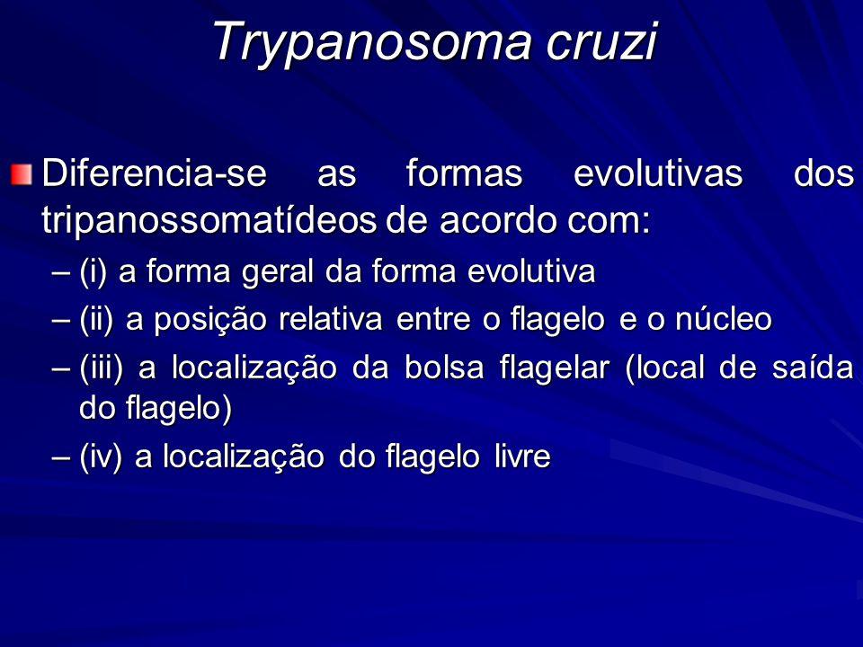 Trypanosoma cruzi Diferencia-se as formas evolutivas dos tripanossomatídeos de acordo com: (i) a forma geral da forma evolutiva.