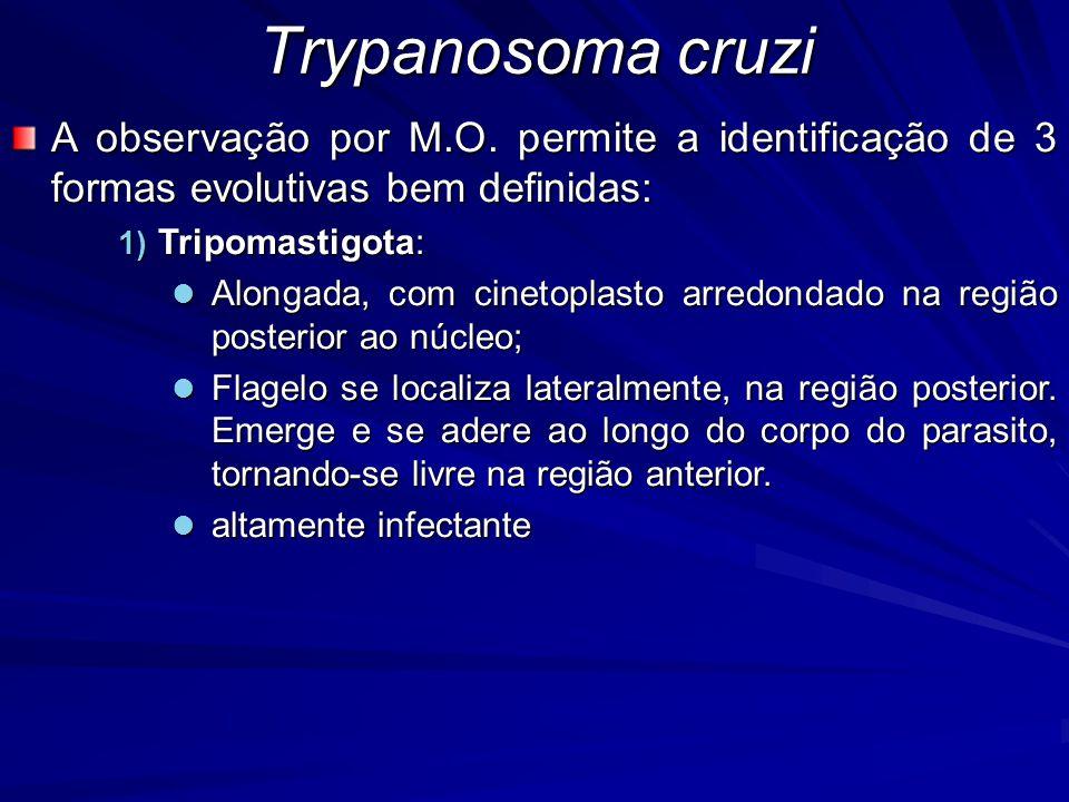 Trypanosoma cruzi A observação por M.O. permite a identificação de 3 formas evolutivas bem definidas: