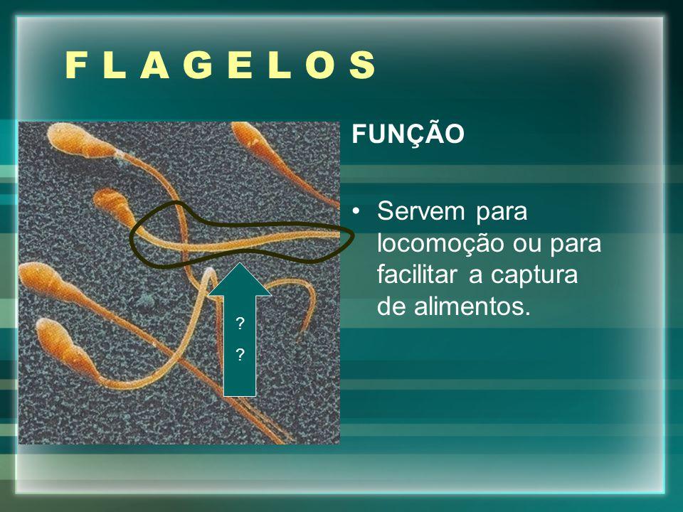 F L A G E L O S FUNÇÃO Servem para locomoção ou para facilitar a captura de alimentos.