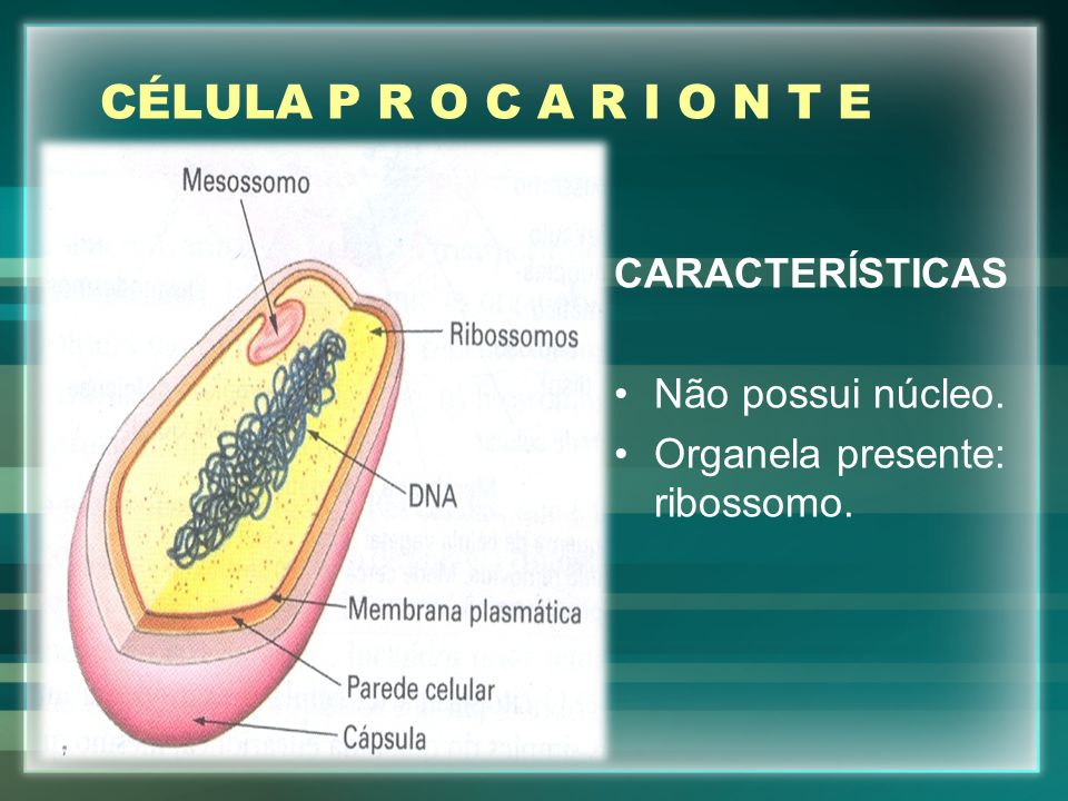 CÉLULA P R O C A R I O N T E CARACTERÍSTICAS Não possui núcleo.