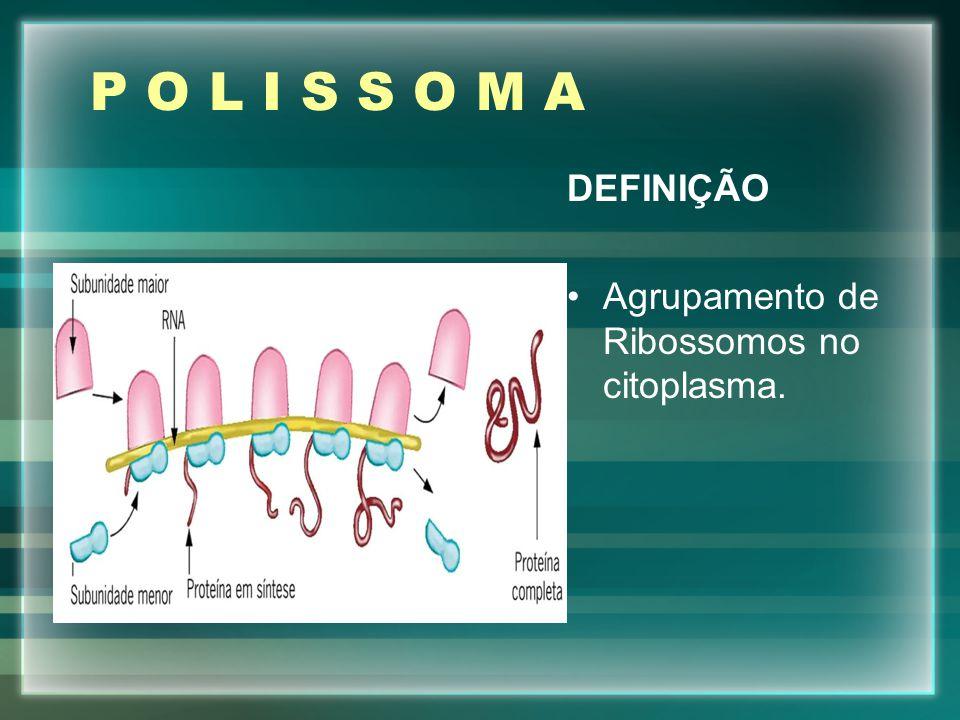 P O L I S S O M A DEFINIÇÃO Agrupamento de Ribossomos no citoplasma.