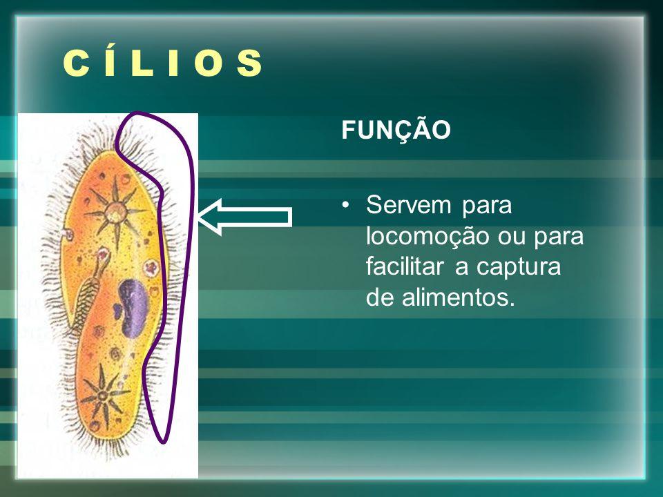 C Í L I O S FUNÇÃO Servem para locomoção ou para facilitar a captura de alimentos.