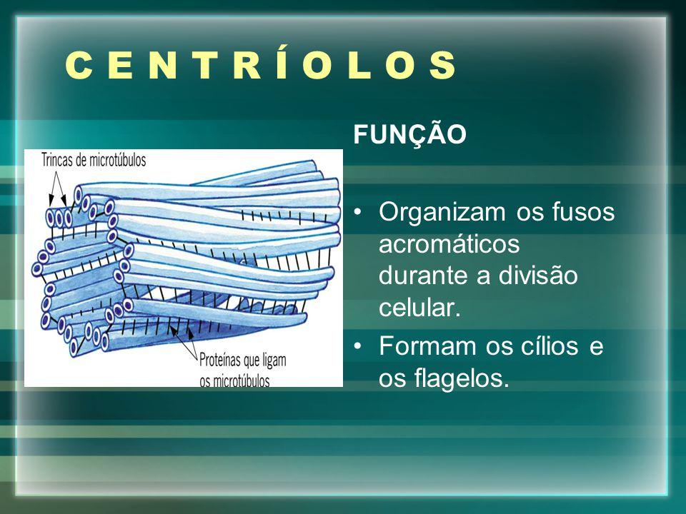 C E N T R Í O L O S FUNÇÃO. Organizam os fusos acromáticos durante a divisão celular.