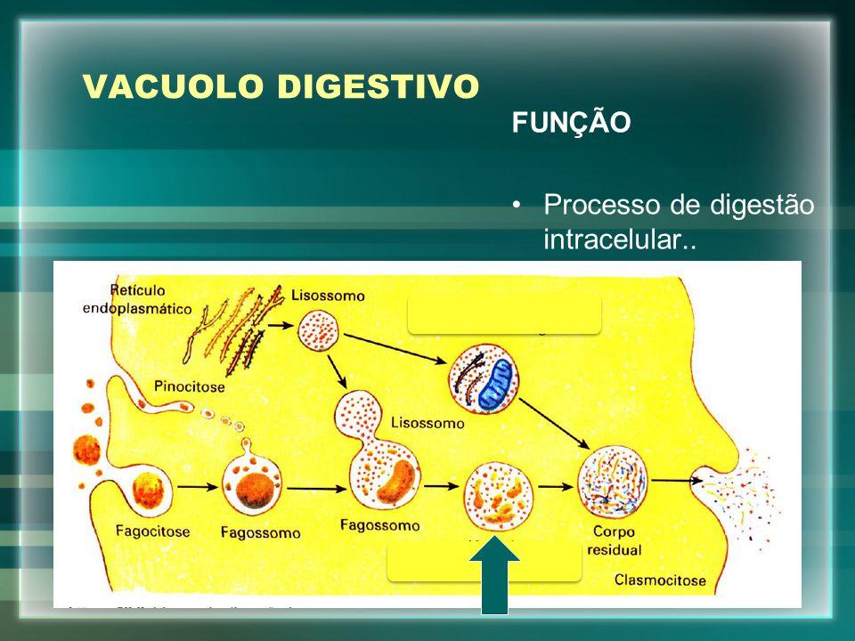 VACUOLO DIGESTIVO FUNÇÃO Processo de digestão intracelular..