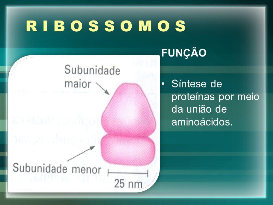 R I B O S S O M O S FUNÇÃO Síntese de proteínas por meio da união de aminoácidos.