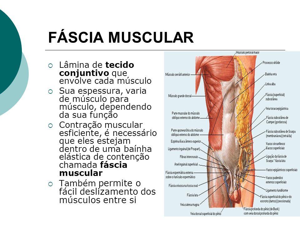 FÁSCIA MUSCULAR Lâmina de tecido conjuntivo que envolve cada músculo