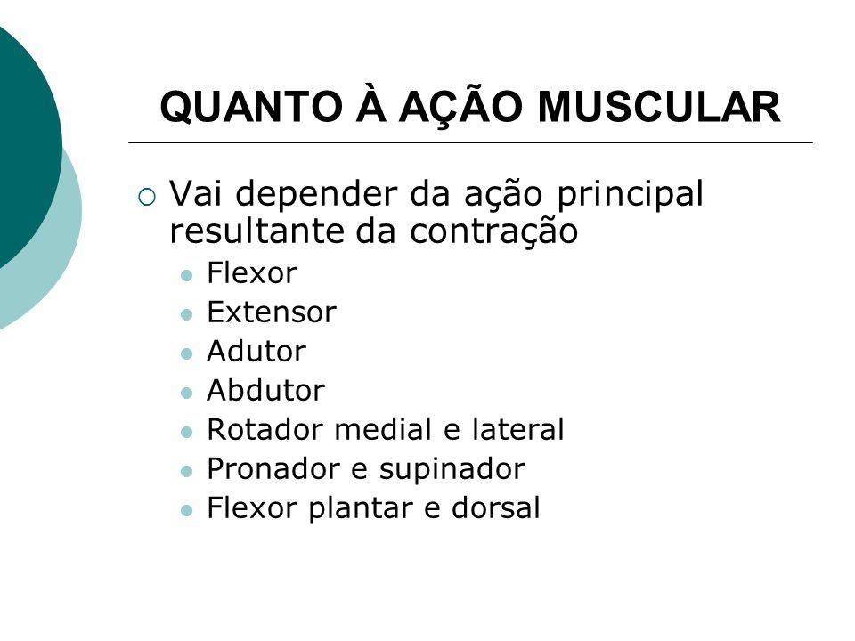 QUANTO À AÇÃO MUSCULAR Vai depender da ação principal resultante da contração. Flexor. Extensor. Adutor.