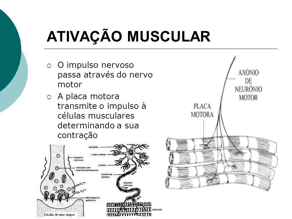 ATIVAÇÃO MUSCULAR O impulso nervoso passa através do nervo motor