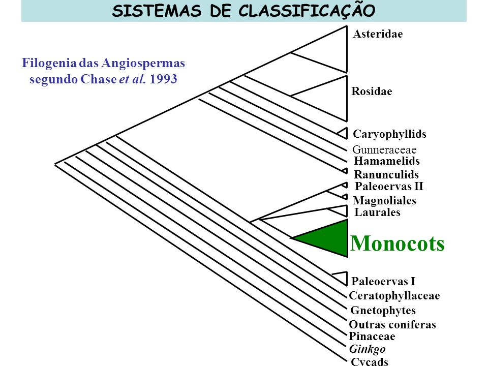 SISTEMAS DE CLASSIFICAÇÃO Filogenia das Angiospermas