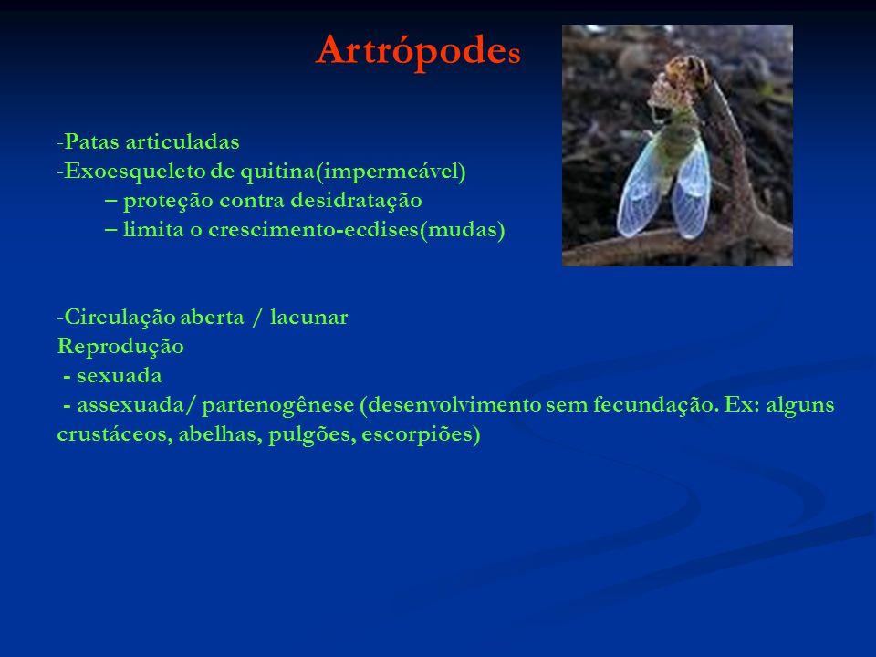 Artrópodes Patas articuladas Exoesqueleto de quitina(impermeável)
