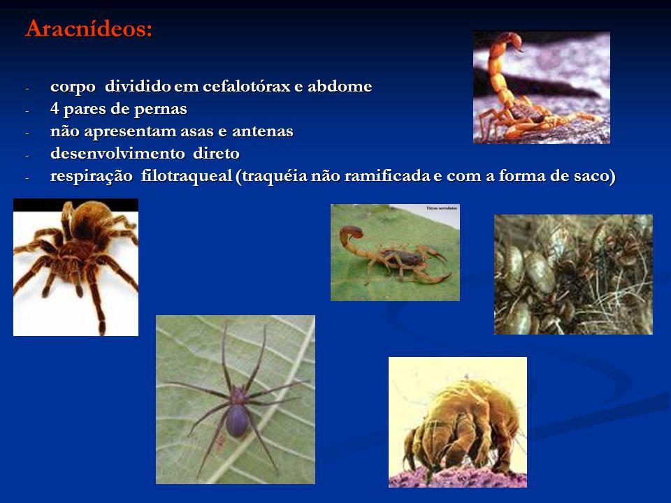 Aracnídeos: corpo dividido em cefalotórax e abdome 4 pares de pernas