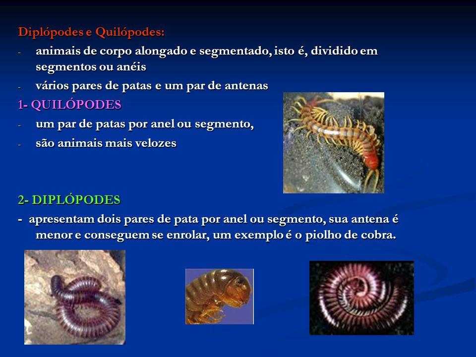 Diplópodes e Quilópodes: