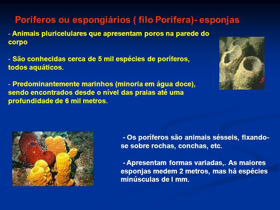 Poríferos ou espongiários ( filo Porifera)- esponjas