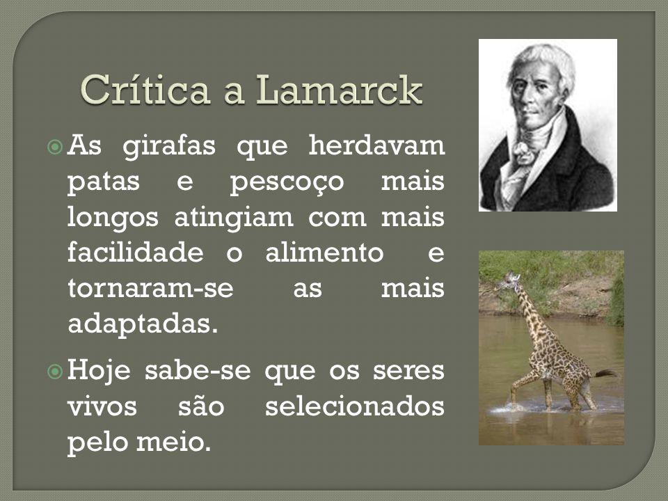 Crítica a Lamarck As girafas que herdavam patas e pescoço mais longos atingiam com mais facilidade o alimento e tornaram-se as mais adaptadas.