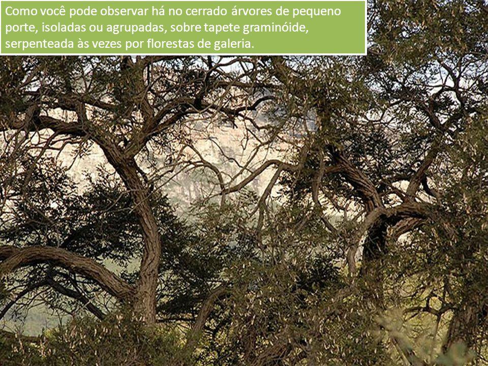 Como você pode observar há no cerrado árvores de pequeno porte, isoladas ou agrupadas, sobre tapete graminóide, serpenteada às vezes por florestas de galeria.