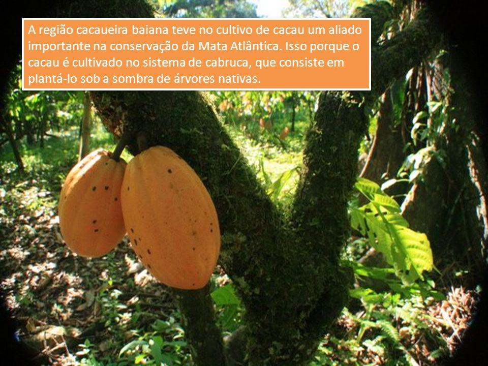 A região cacaueira baiana teve no cultivo de cacau um aliado importante na conservação da Mata Atlântica.