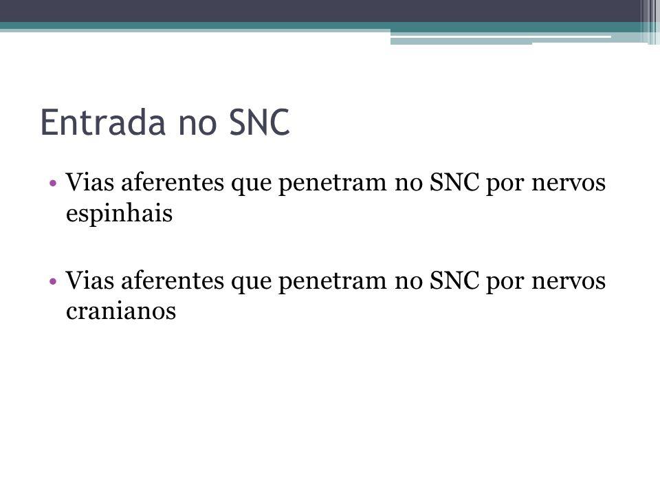 Entrada no SNC Vias aferentes que penetram no SNC por nervos espinhais