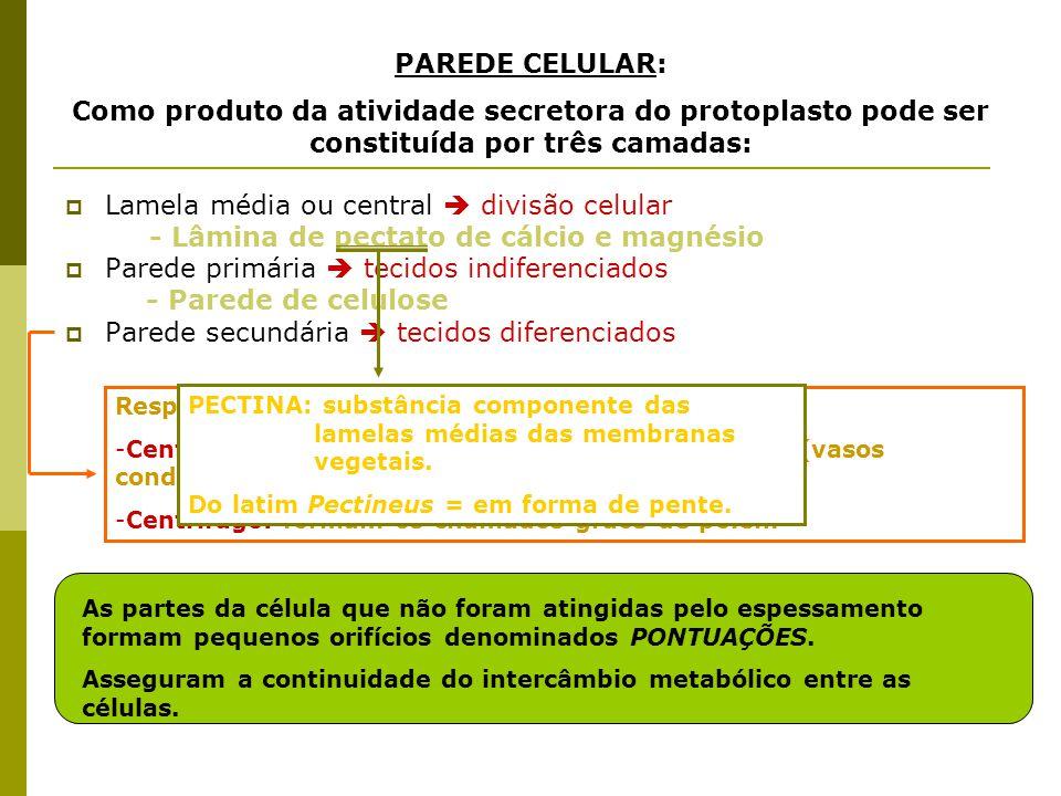 Lamela média ou central  divisão celular