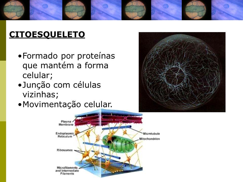 CITOESQUELETO Formado por proteínas que mantém a forma celular; Junção com células vizinhas; Movimentação celular.