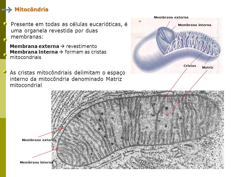 Mitocôndria Membrana externa. Presente em todas as células eucarióticas, é uma organela revestida por duas membranas: