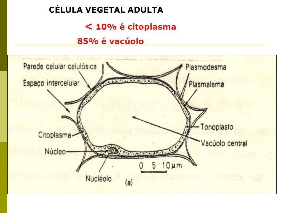 CÉLULA VEGETAL ADULTA < 10% é citoplasma 85% é vacúolo