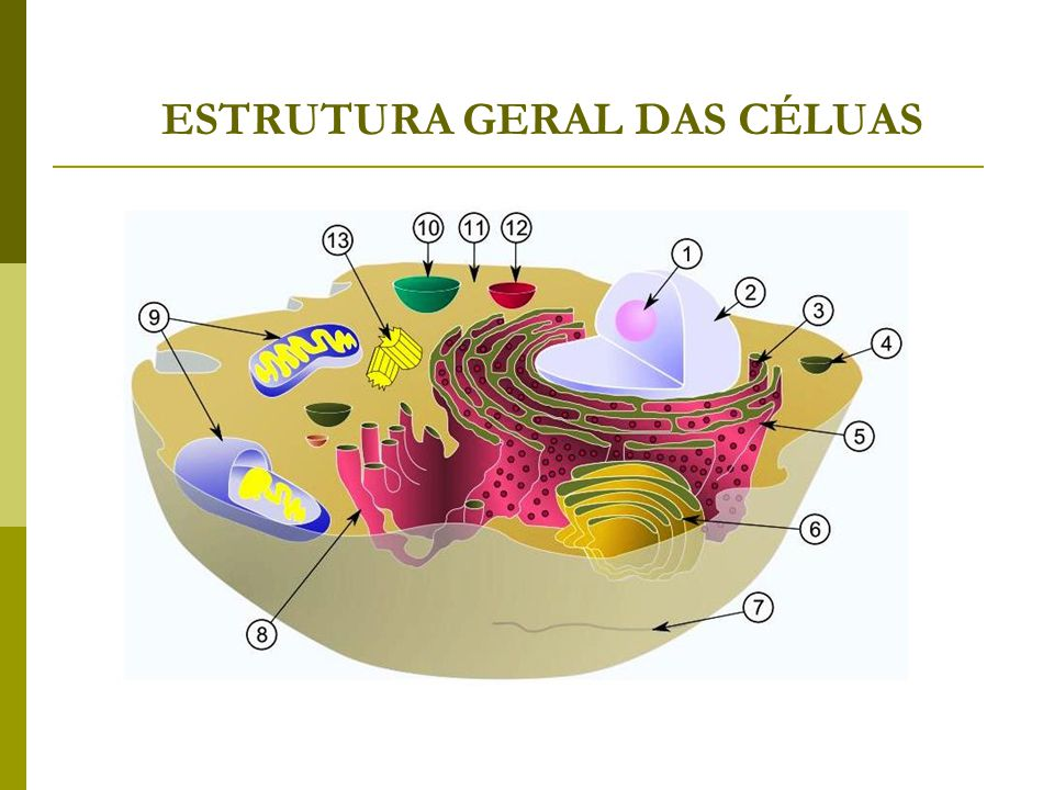 ESTRUTURA GERAL DAS CÉLUAS
