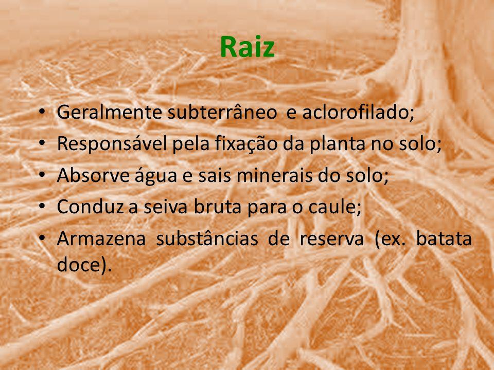 Raiz Geralmente subterrâneo e aclorofilado;