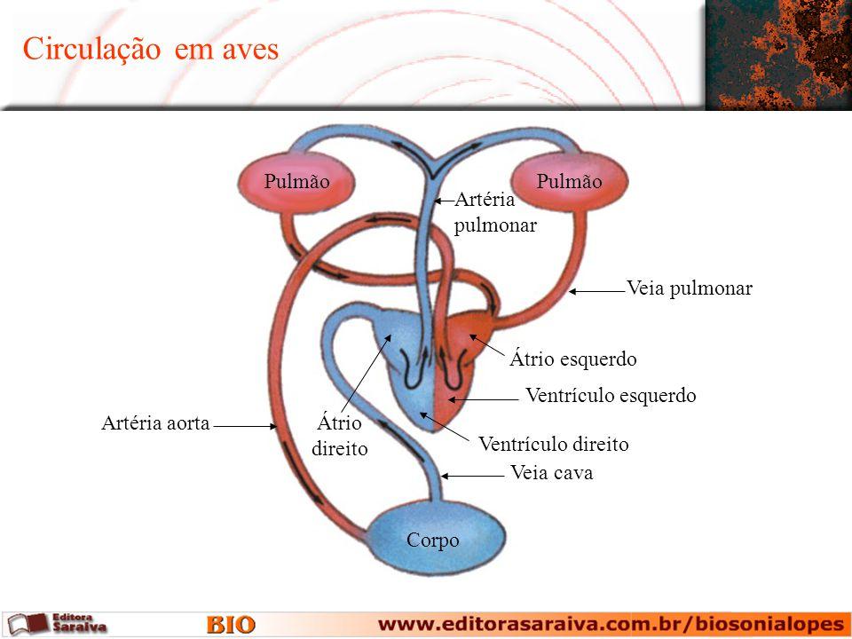 Circulação em aves Pulmão Pulmão Artéria pulmonar Veia pulmonar