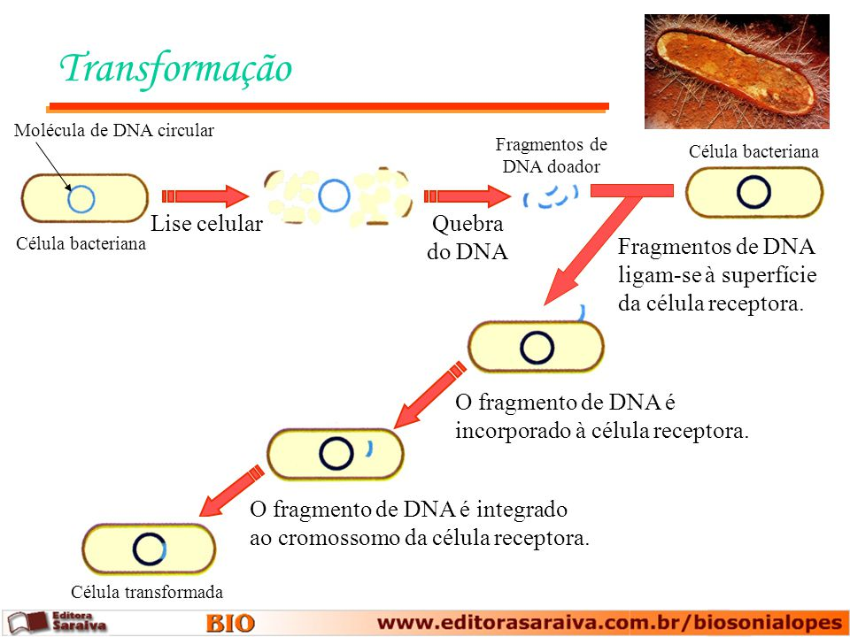 Fragmentos de DNA doador