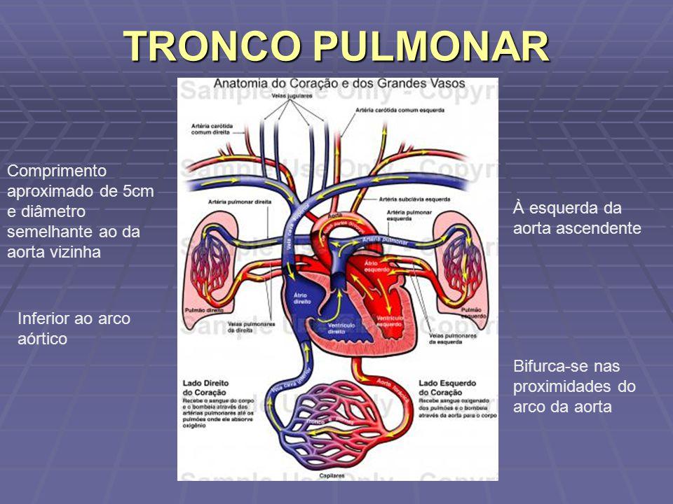 TRONCO PULMONAR Comprimento aproximado de 5cm e diâmetro semelhante ao da aorta vizinha. À esquerda da aorta ascendente.