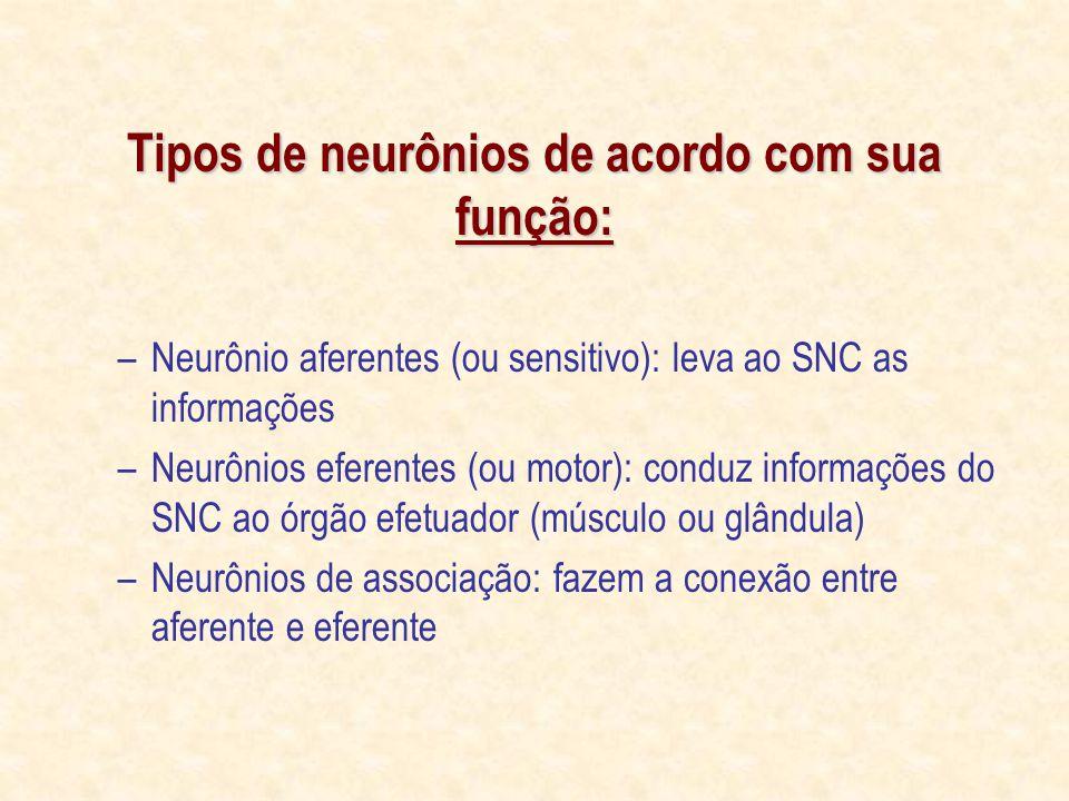 Tipos de neurônios de acordo com sua função:
