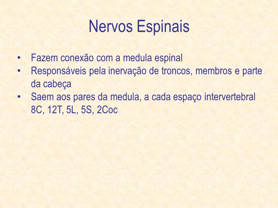 Nervos Espinais Fazem conexão com a medula espinal