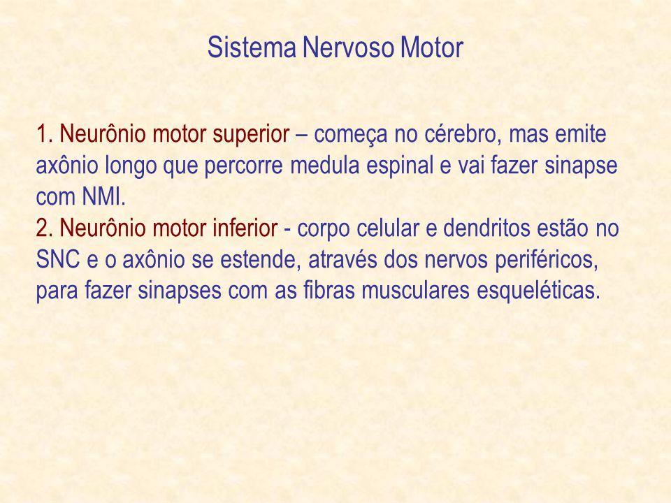 Sistema Nervoso Motor 1. Neurônio motor superior – começa no cérebro, mas emite axônio longo que percorre medula espinal e vai fazer sinapse com NMI.