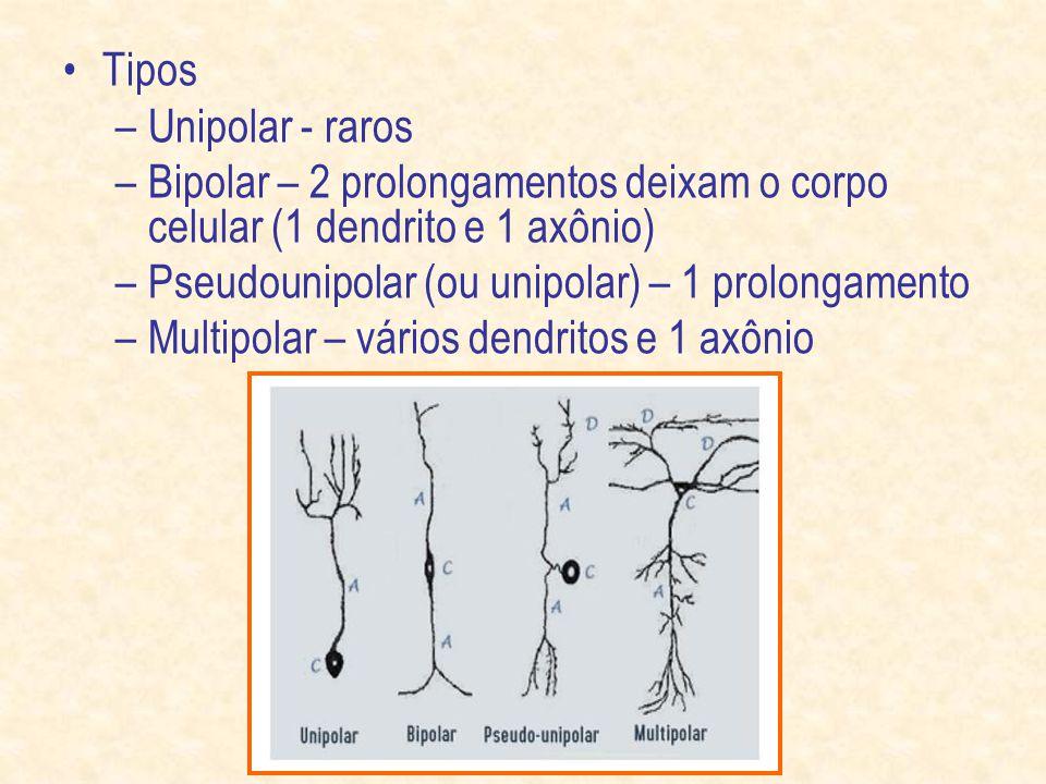 Tipos Unipolar - raros. Bipolar – 2 prolongamentos deixam o corpo celular (1 dendrito e 1 axônio) Pseudounipolar (ou unipolar) – 1 prolongamento.